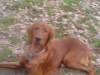 Irish Setter, 8 monts, red